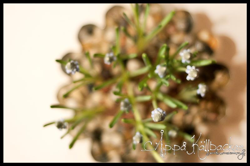 pearlhyacint (Medium) (2)